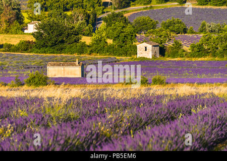 lavender landscape with different huts near village Sault, Provence, France - Stock Photo