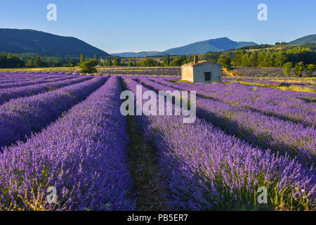 dreamy blossoming lavender field near Sault, Provence, France, soft light in the evening - Stock Photo