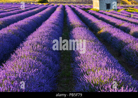 lavender field near Sault, Provence, France - Stock Photo