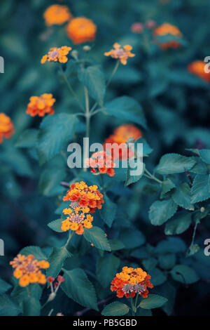Beautiful fairy dreamy magic red yellow orange flower lantana camara on green blue blurry background, toned with instagram filters in retro vintage st - Stock Photo