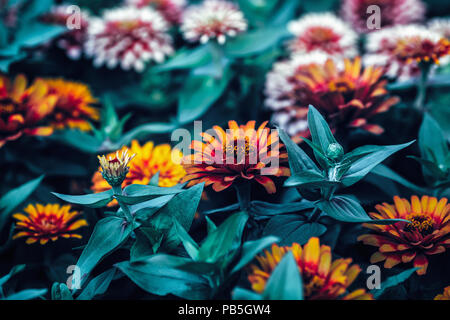 Beautiful fairy dreamy magic red and yellow zinnia flowers with dark green leaves, retro vintage style, soft selective focus, blurry background, copys - Stock Photo
