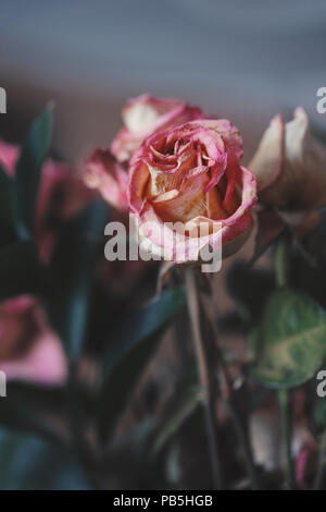 Closeup macro of beautiful tender withered old pink yellow red roses flowers on faded blurry background toned with filters in retro vintage style with - Stock Photo