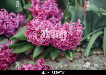 Beautiful fairy dreamy magic red blue purple violet hyacinthus Muscari flowers with green leaves, retro vintage style, blurry background, copyspace - Stock Photo