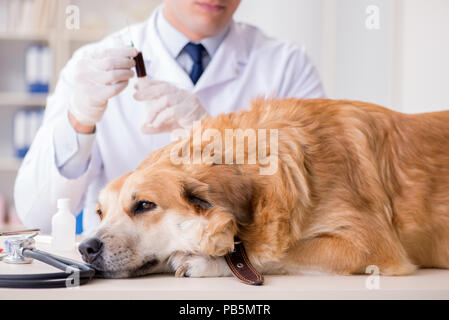 Doctor examining golden retriever dog in vet clinic - Stock Photo