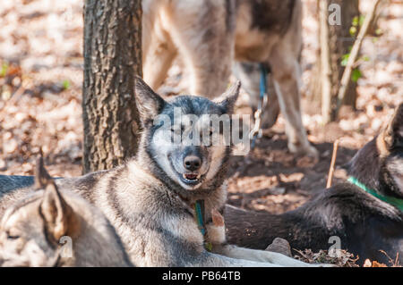 Several husky and malamute dogs waiting before sleddog racing in a green environment in the forest. - Stock Photo