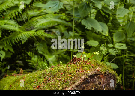 old log in front of ferns covered in moss in western Washington - Stock Photo