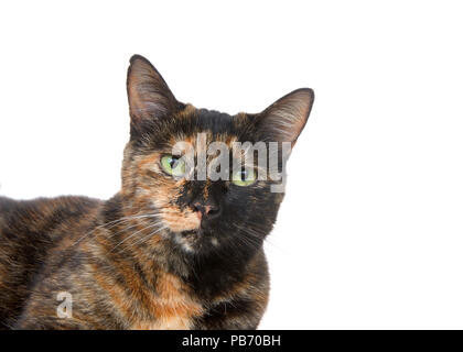 Portrait of a tortie torbie tabby cat with green eyes isolated on white background. Looking directly at viewer - Stock Photo