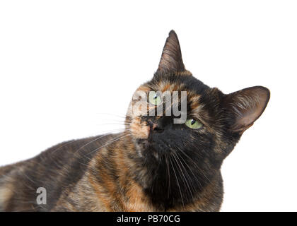 Portrait of a tortie torbie tabby cat with green eyes isolated on white background. Looking up to viewers left. - Stock Photo