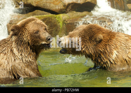 Two adolescent grizzly bears, or North American brown bear, play fighting in a pond of water, water falling over rocks in the background. - Stock Photo
