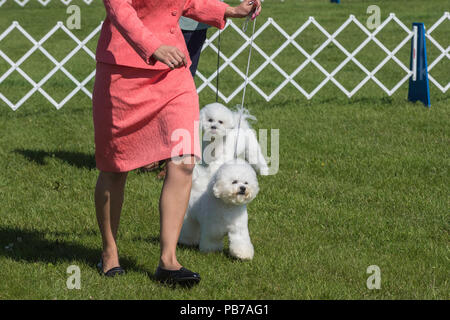 Bichon Frise dog, Evelyn Kenny Kennel and Obedience Club Dog