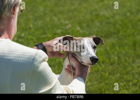 Whippet dog, Evelyn Kenny Kennel and Obedience Club Dog show, Alberta, Canada - Stock Photo