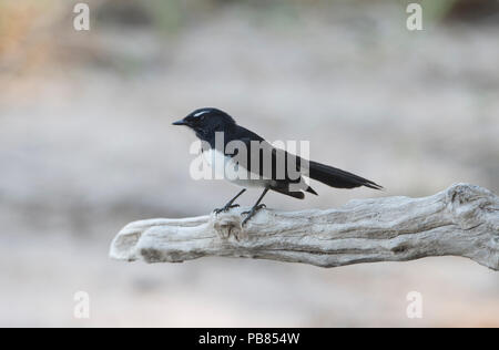 Willie Wagtail (Rhipidura leucophrys) perched on a branch,  Far North Queensland, FNQ, QLD, Australia - Stock Photo