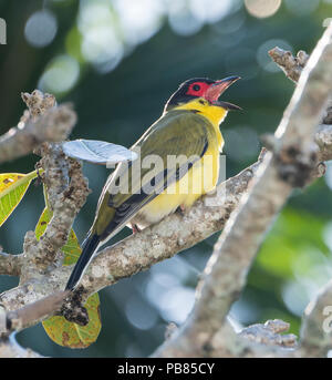 Male Figbird, Northern Race (Sphecotheres flaviventris) perched on a branch and calling, Cairns, Far North Queensland, FNQ, QLD, Australia - Stock Photo