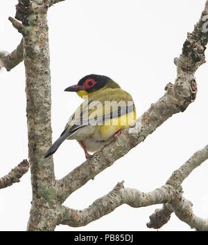 Portrait of a male Figbird, Northern Race (Sphecotheres flaviventris) perched on a branch, Cairns, Far North Queensland, FNQ, QLD, Australia - Stock Photo
