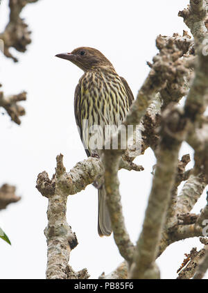 Female Figbird, Northern Race (Sphecotheres flaviventris) perched on a branch, Cairns, Far North Queensland, FNQ, QLD, Australia - Stock Photo
