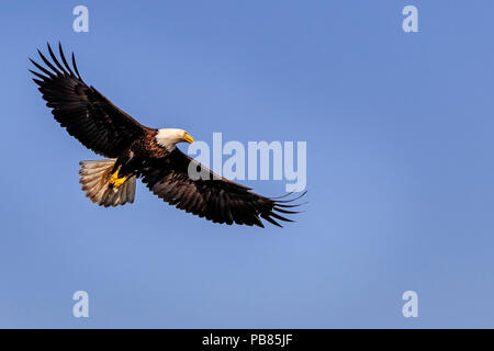 Bald eagle soaring on a beautiful spring day above the Broughton Archipelago, First Nations Territory, British Columbia, Canada. - Stock Photo