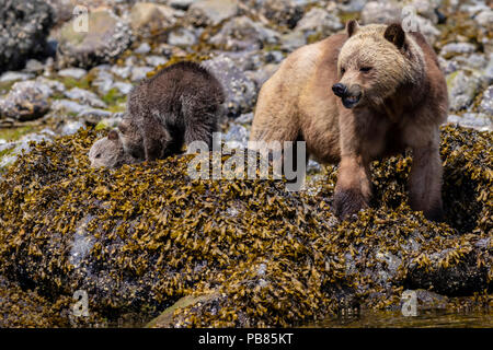 Grizzly bear (Ursus arctos horribilis) sow with two cubs feasting along the shoreline at low tide in Glendale Cove, Knight Inlet, First Nations Territ - Stock Photo