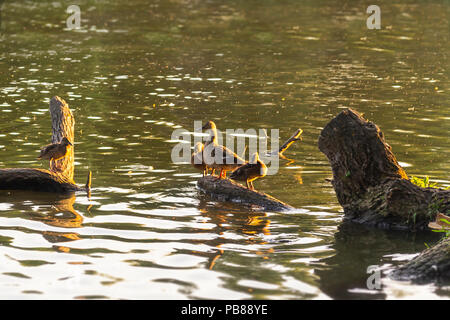 Ducks family sitting on a wooden log. Warm summer evening - Stock Photo