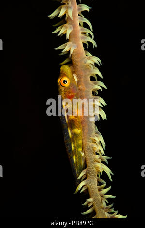 Wire coral goby, Bryaninops yongei, on wire coral with it's polyps extended, Hawaii. - Stock Photo