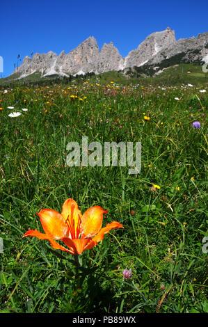 Beautiful Orange Flowers near Passo Gardena, Dolomites, Italy. - Stock Photo