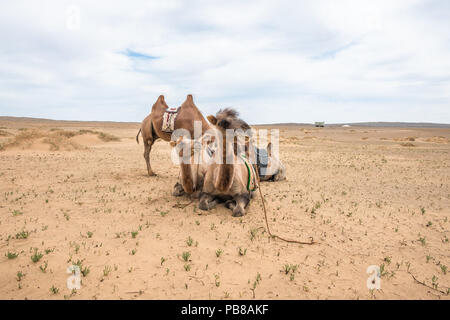 Domesticated Bactrian camels resting in the Gobi Desert, Mongolia. - Stock Photo