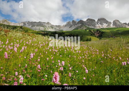 Beautiful Flowers at San Pellegrino pass in the Dolomites in the Val di Fiemme, Trento, Italy. - Stock Photo