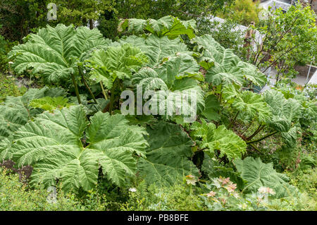 Gunnera manicata, known as Brazilian giant-rhubarb - Stock Photo