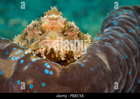 This common scorpionfish, Scorpaenopsis oxycephala, is perched on the mantle rim of a giant tridacna clam, Tridacna gigas.  It's venomous spines can i - Stock Photo