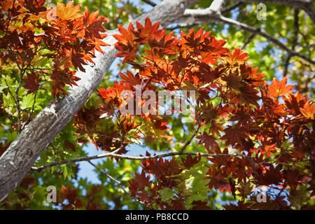 Beautiful Japanese Maple tree with deep red leaves contrasted with yet to be transformed green leaves at the beginning of the Autumn or Fall Season. T - Stock Photo