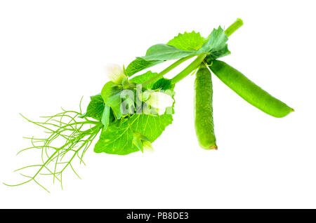 Branch of green peas with leaves and pods. Studio Photo - Stock Photo