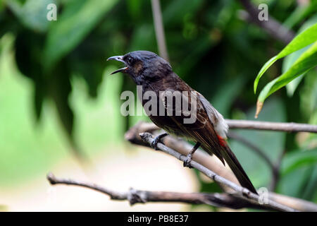 Dhaka, Bangladesh - May 26, 2012: Nightingale bird or Bulbul bird sitting on a tree at Dhaka, Bangladesh. - Stock Photo