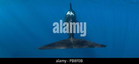 Short-finned pilot whale (Globicephala macrorhynchus) rear view showing fluke, Cape Point, South Africa, March. - Stock Photo