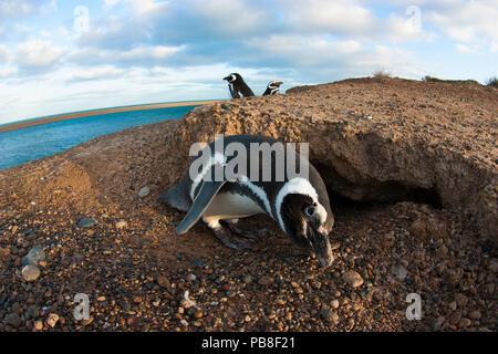 Magellanic penguin (Spheniscus magellanicus) near nesting burrow on coast of Peninsula Valdes, Patagonia - Stock Photo