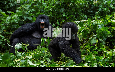 Mountain gorilla (Gorilla gorilla beringei) infant walking watched by a female in the background, member of 'Humba' group. Virunga National Park, Democratic Republic of Congo, March. - Stock Photo