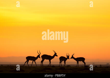 Impala (Aepyceros melampus) four males silhouetted at sunrise, Maasai Mara National Reserve, Kenya - Stock Photo