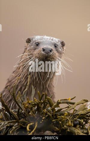 Eurasian otter (Lutra lutra) portrait, Scotland, UK, April. - Stock Photo