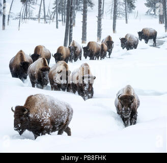 Herd of American bison (Bison bison) in snow, Yellowstone National Park, Wyoming, Yellowstone, January. - Stock Photo