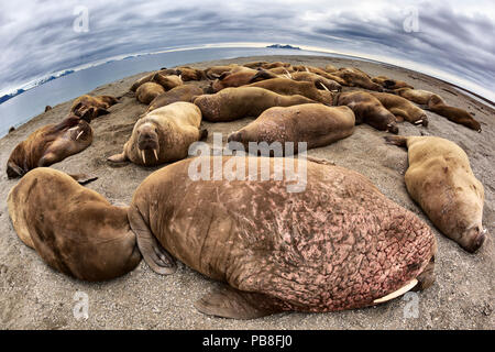 Atlantic walruses (Odobenus rosmarus rosmarus) wide angle view of large colony hauled up on a sandy beach area to rest, Svalbard, Norway, June - Stock Photo