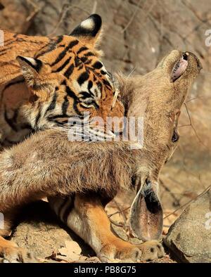 Bengal tiger (Panthera tigris tigris) female 'Noor T19' killing Sambar deer (Rusa unicolor) by strangulation. Ranthambhore, India. - Stock Photo