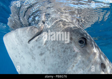 Whale shark (Rhincodon typus) at surface of water, Cenderawasih Bay, West Papua. Indonesia. Winner of the Man and Nature Portfolio Award in the Terre Sauvage Nature Images Awards Competition 2015. - Stock Photo