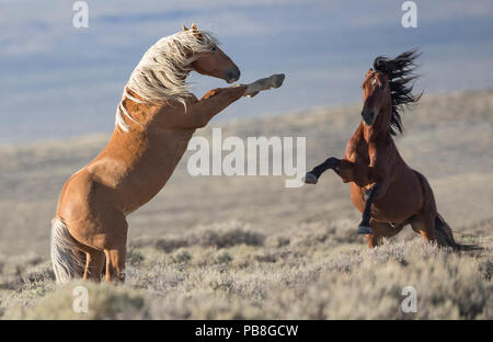 Two wild Mustang stallions fighting in the White Mountain Herd Area, Wyoming, USA. August. - Stock Photo
