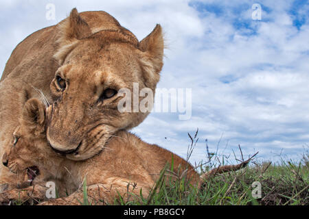 Lioness (Panthera leo) trying to pick up a cub aged about 2 months in her mouth, Maasai Mara National Reserve, Kenya. Taken with remote wide angle camera. - Stock Photo