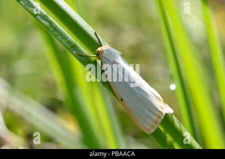 White owlet moth, Noctuidae, sitting on a plant stem - Stock Photo
