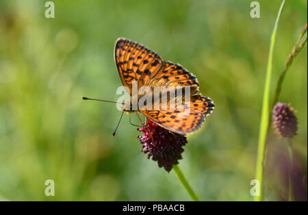 Yellow butterfly cardinal, Argynnis pandora, with black-spotted wings sitting on a wild flower - Stock Photo