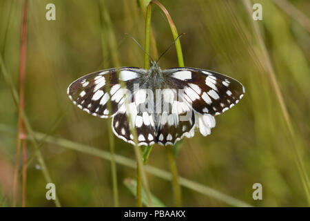 A butterfly marbled white, Melanargia galathea, sits on a plant stem - Stock Photo
