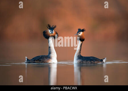 Great crested grebe (Podiceps cristatus) pair performing their courtship dance in which they mimic each other's movements. The Netherlands. April. - Stock Photo