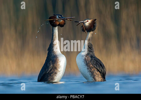 Great Crested Grebe (Podiceps cristatus) pair in courtship weed dance during courtship close to a reedbed. The Netherlands. April. - Stock Photo