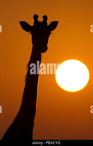 Giraffe (Giraffa camelopardalis) silhouetted at sunrise, Masai Mara, Kenya. - Stock Photo
