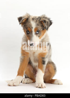 Tricolour merle Collie puppy, Indie, age 10 weeks. - Stock Photo