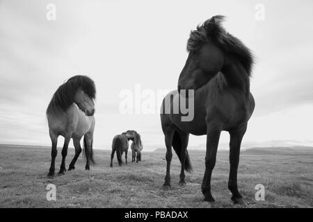 Icelandic horses, near Hofn, Iceland, June. - Stock Photo
